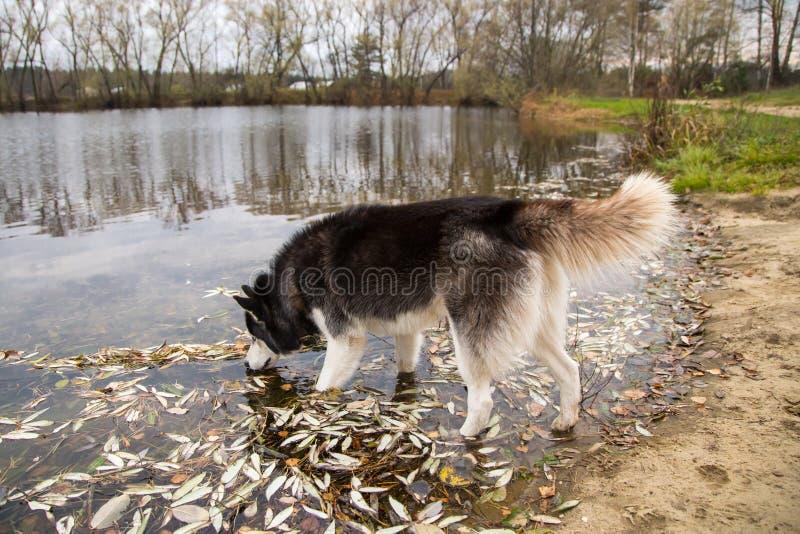 O cão do cão de puxar trenós Siberian com cauda espessa bebe a água do lago fotos de stock royalty free