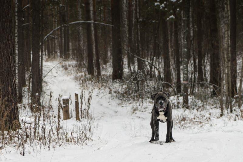 O cão do corso do bastão está olhando para a frente na floresta do inverno imagens de stock royalty free