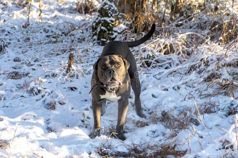 O cão do corso do bastão quer jogar imagens de stock