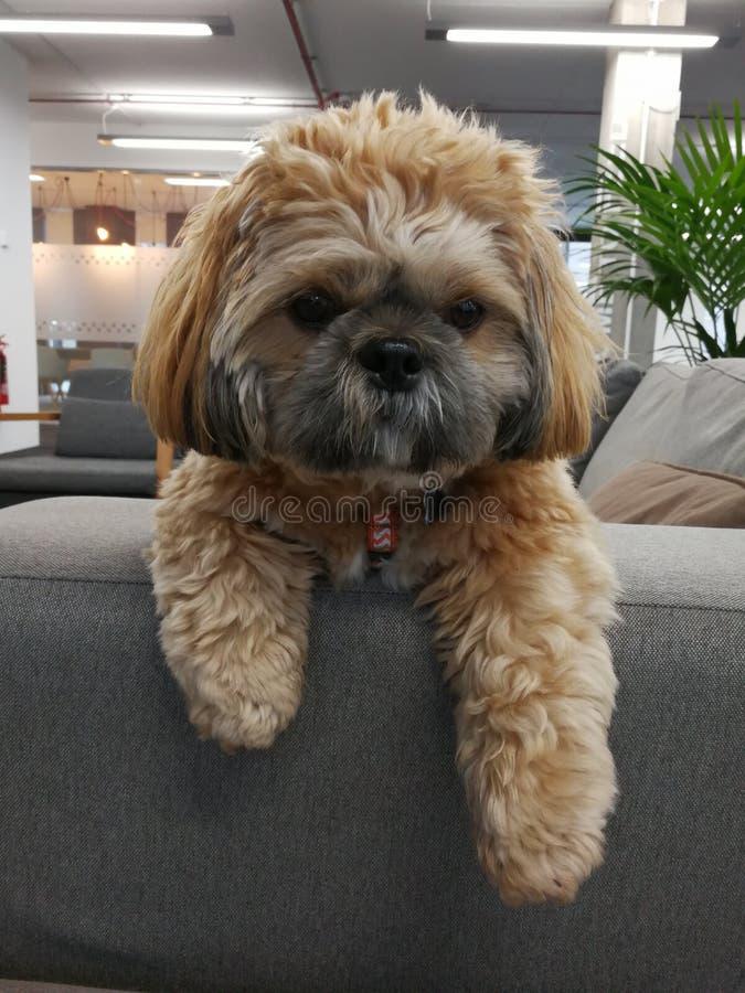 O cão do escritório de Shitzu sentou-se sobre a borda do settea fotos de stock