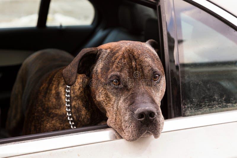 O cão do mastim que espera seus owner's retorna no carro imagem de stock royalty free