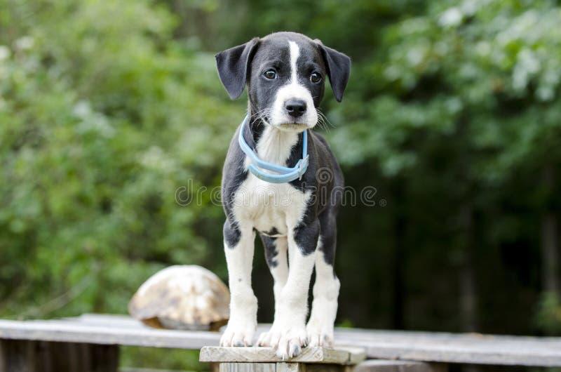 O cão do ponteiro misturou o cão de cachorrinho da raça com o colar da pulga fotos de stock royalty free