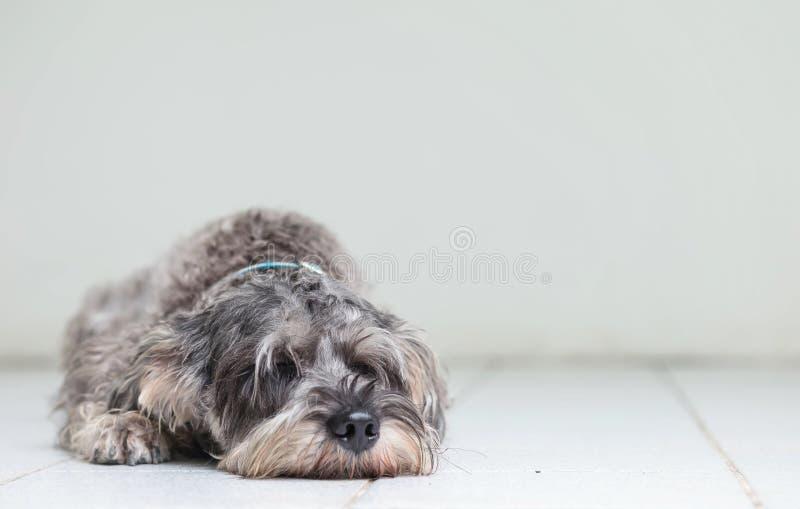 O cão do schnauzer do close up encontrou-se para dormir no assoalho de telha borrado e na parede do cimento branco na frente do f imagens de stock royalty free