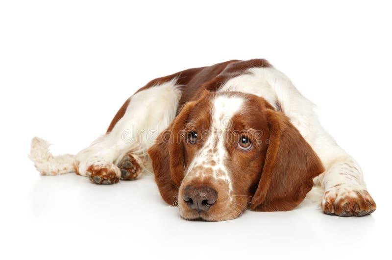 O cão do spaniel de Springer encontra-se esperando seu proprietário imagens de stock royalty free