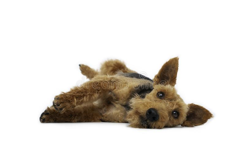O cão do terrier de galês está encontrando-se no fundo branco foto de stock royalty free