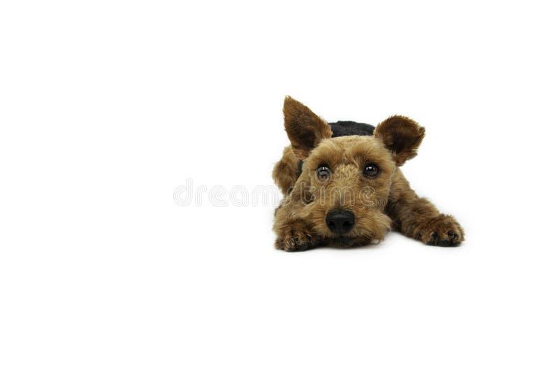 O cão do terrier de galês está encontrando-se no fundo branco foto de stock