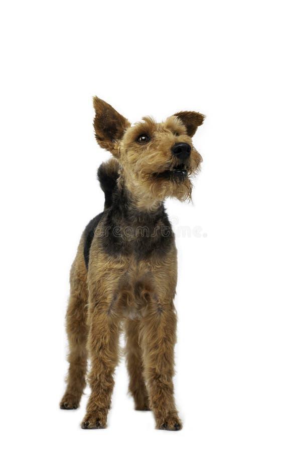 O cão do terrier de galês está estando no fundo branco foto de stock