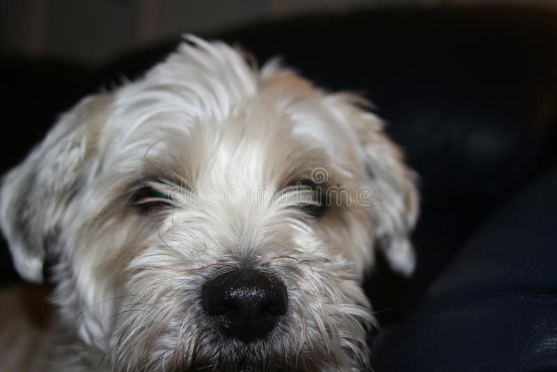 O cão do tzu de Shih é estabelecimento muito triste do olhar fotografia de stock royalty free