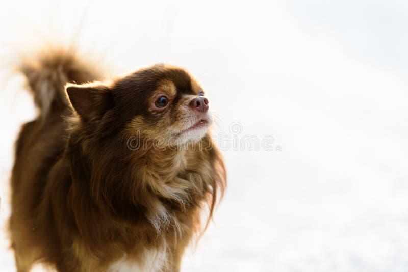 O cão do tzu do shih tem o jogo da neve na estação da manhã e do inverno em Helsínquia, Finlandia imagens de stock royalty free