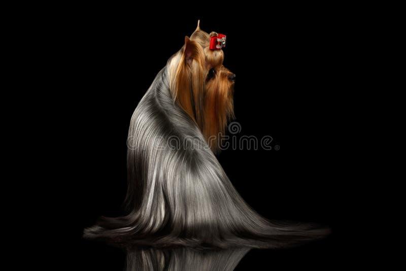 O cão do yorkshire terrier com cabelo preparado longo senta-se no preto fotografia de stock royalty free