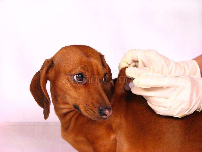 O cão doente imagens de stock royalty free