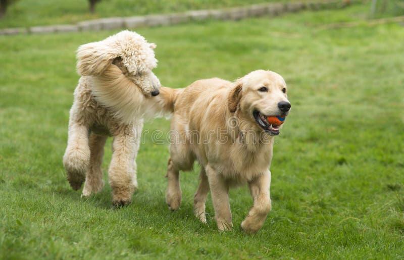 O cão dourado feliz de Retreiver com a caniche que joga o esforço persegue animais de estimação fotografia de stock royalty free