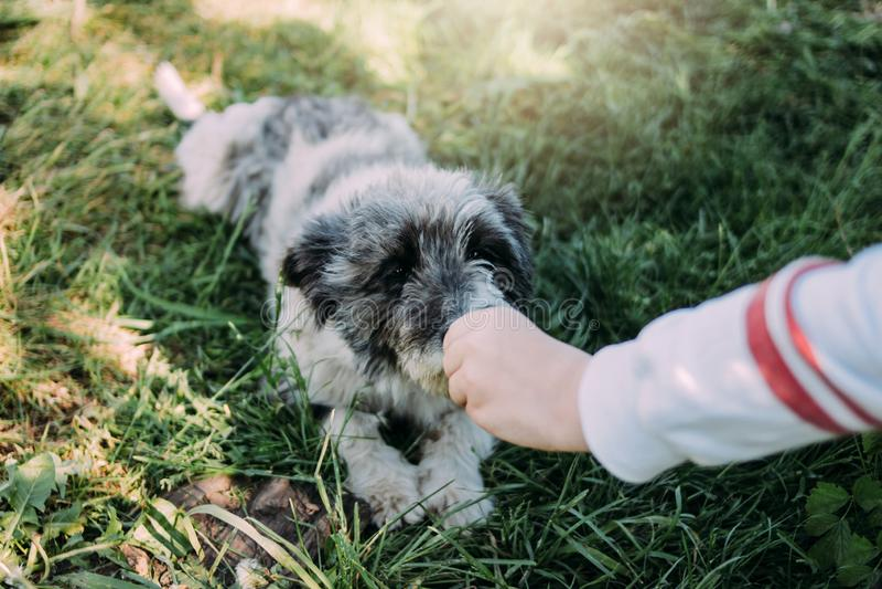 O cão encantador cinzento encaracolado do híbrido da jarda encontra-se na grama verde do verão A criança alimenta o cão fotografia de stock