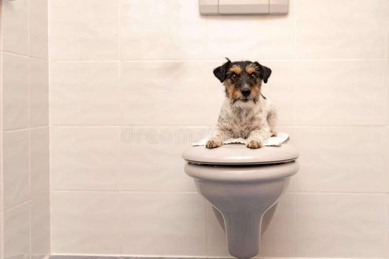 O cão encontra-se na tampa e nos protetores do toalete Jack Russell Terrier 3 YE fotografia de stock