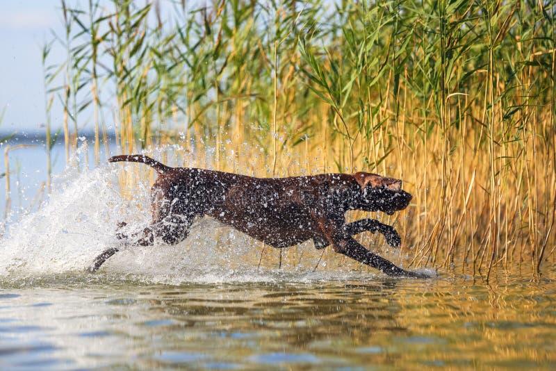 O cão engraçado brincalhão do marrom do músculo está correndo na água que espirra o ao redor no fundo com a grama verde amarela imagem de stock