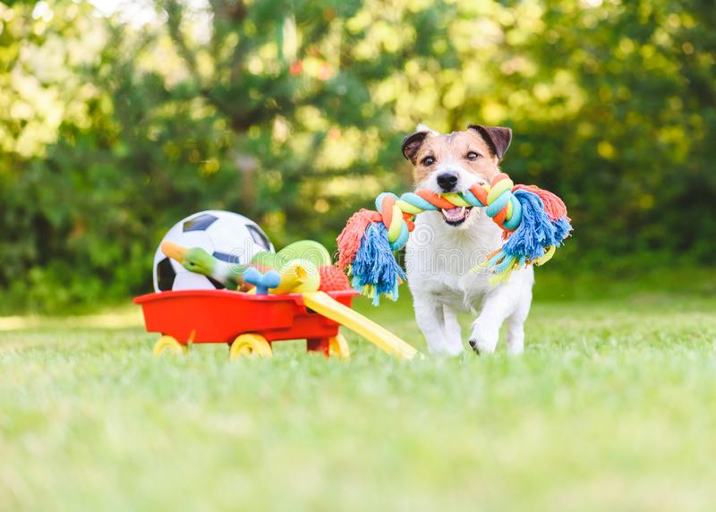 O cão escolhe e busca o brinquedo da corda de acumula de brinquedos do animal de estimação no carro fotografia de stock royalty free