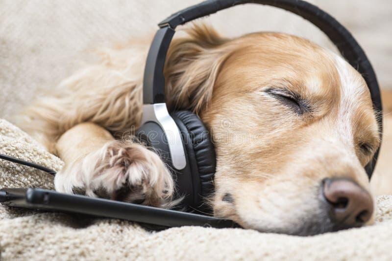 O cão escuta a música no telefone celular ao encontrar-se no sofá imagens de stock royalty free
