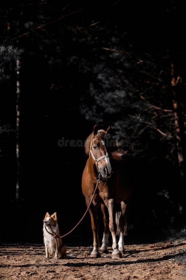O cão está conduzindo o cavalo para uma trela na floresta foto de stock