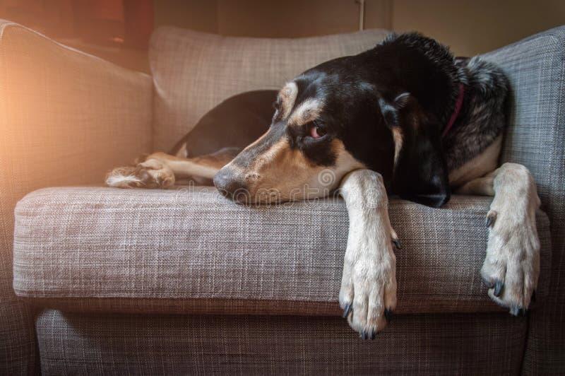 O cão está encontrando-se no sofá e olha lamentavelmente a câmera imagem de stock