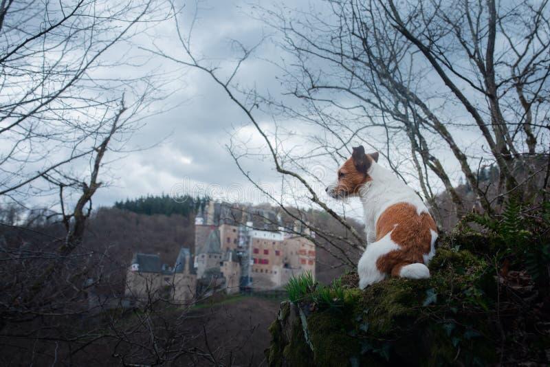 O cão está olhando o castelo Cão pequeno em caminhadas da natureza Jack Russell Terrier Outside fotografia de stock