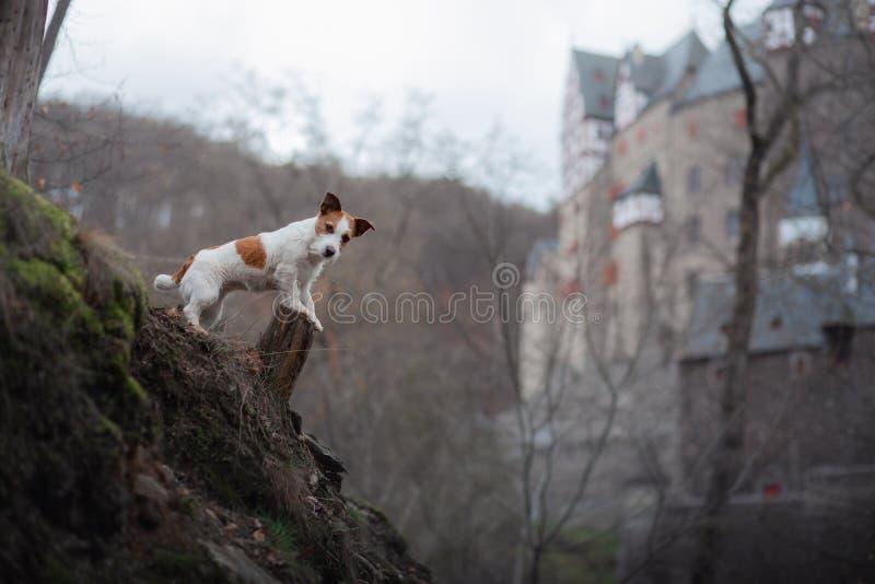 O cão está olhando o castelo Cão pequeno em caminhadas da natureza Jack Russell Terrier Outside imagem de stock royalty free