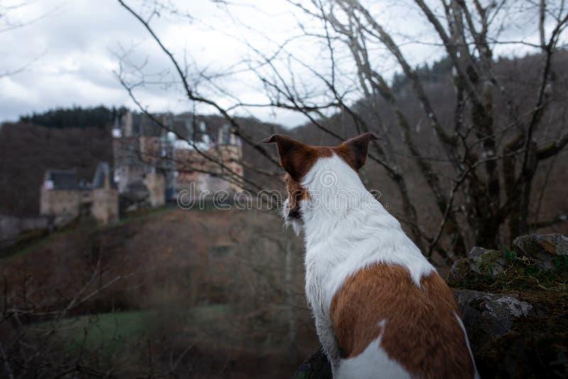 O cão está olhando o castelo Cão pequeno em caminhadas da natureza Jack Russell Terrier Outside imagem de stock