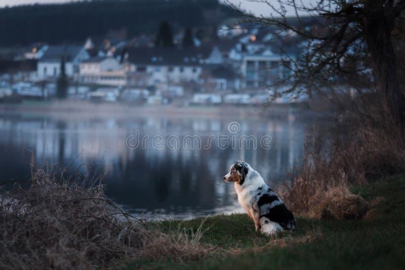 O cão está sentando-se pelo lago Pastor australiano na natureza Caminhada do animal de estimação fotografia de stock royalty free