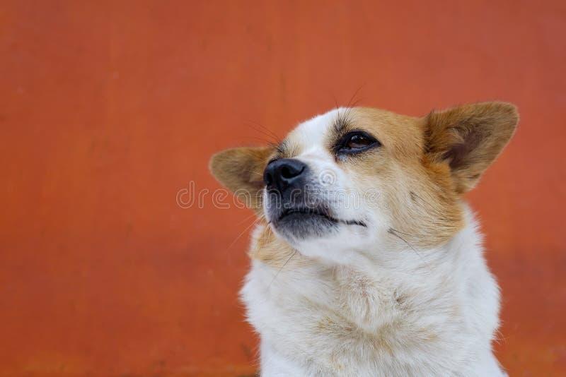 O cão feio do branco e do olhar severo olha arrogante É como um chefe real foto de stock