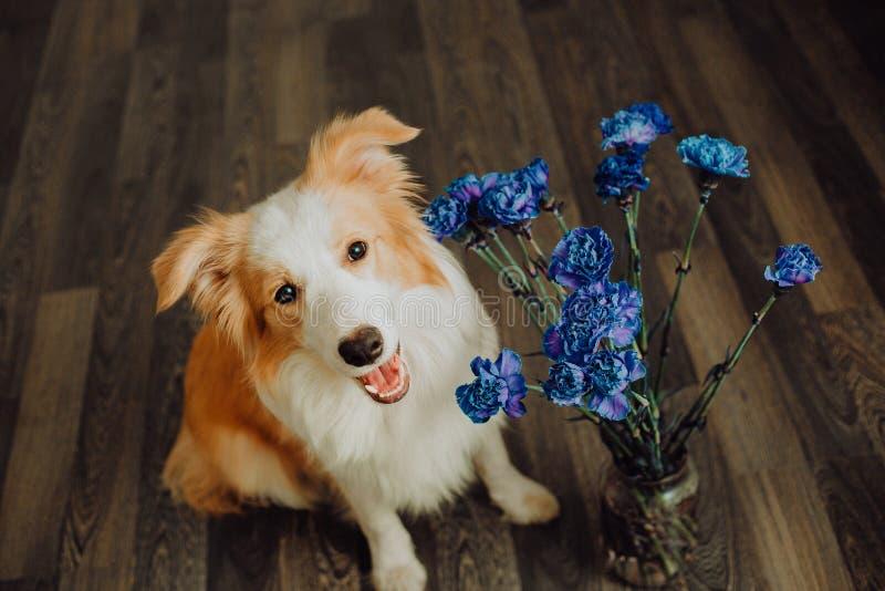 O cão feliz bonito border collie faz uma pose engraçada e cola sua língua e traz flores imagem de stock