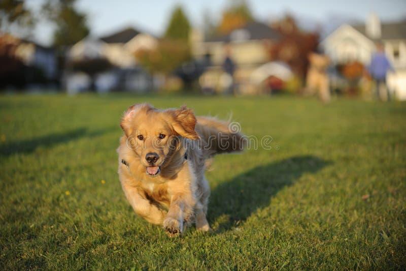 O cão funciona rapidamente para a câmera imagens de stock royalty free