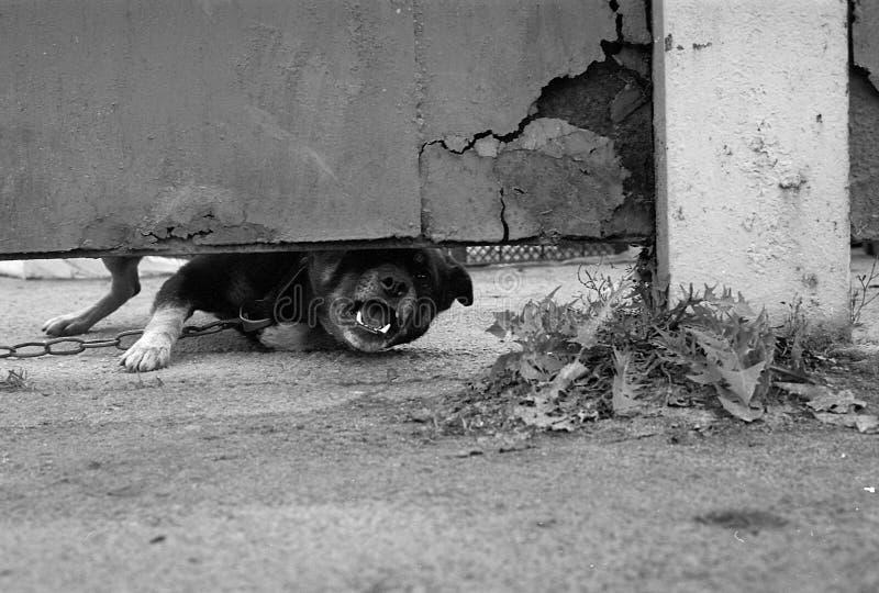 O cão irritado descasca atrás da cerca fotos de stock