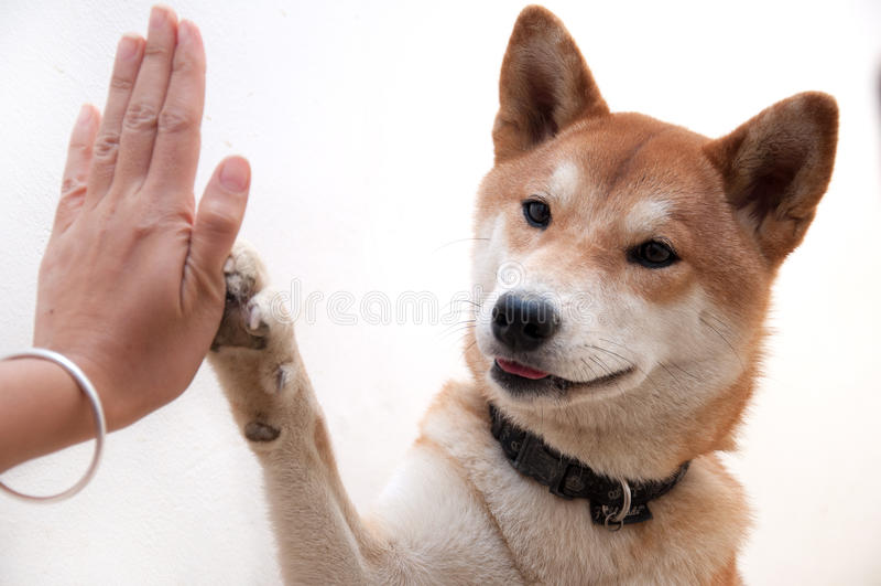 O cão japonês bonito dá olá!-cinco para o símbolo do cumprimento do amigo imagens de stock