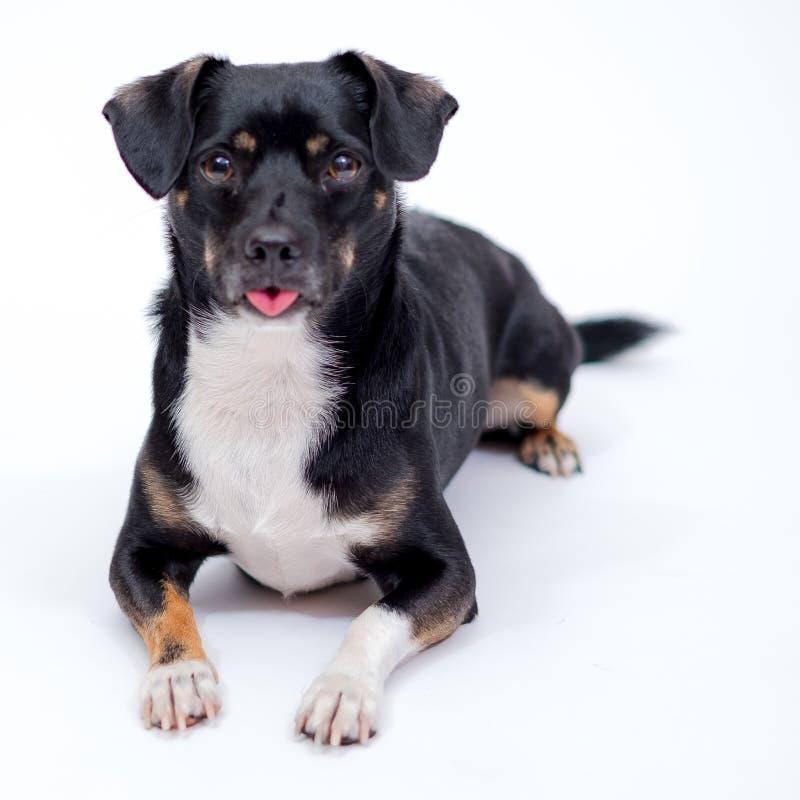 O cão levanta na frente de um contexto do Livro Branco imagens de stock
