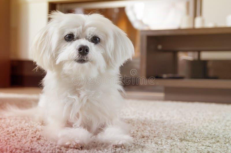 O cão maltês branco encontra-se no tapete imagens de stock