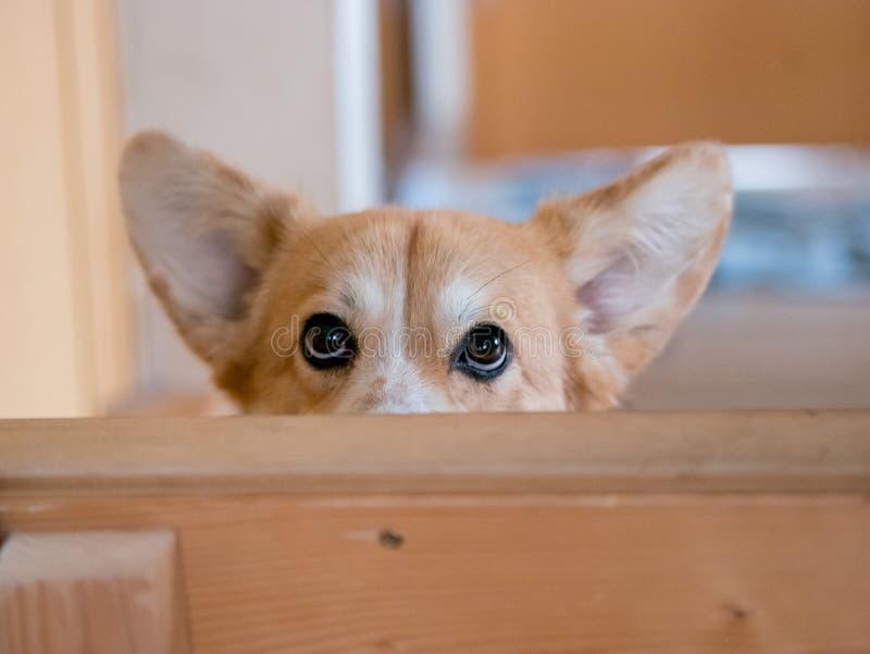 O cão manhoso do Corgi de Galês escondeu imagens de stock royalty free