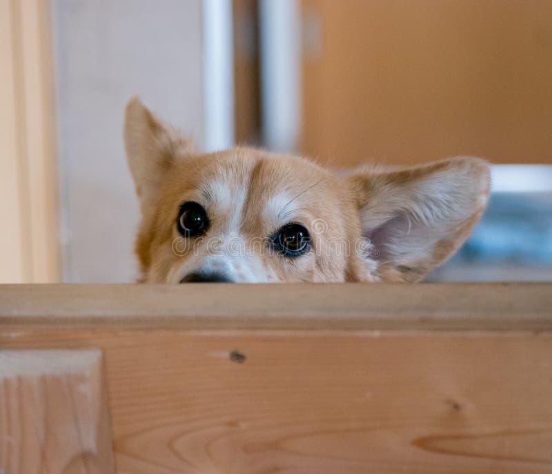 O cão manhoso do Corgi de Galês escondeu fotos de stock