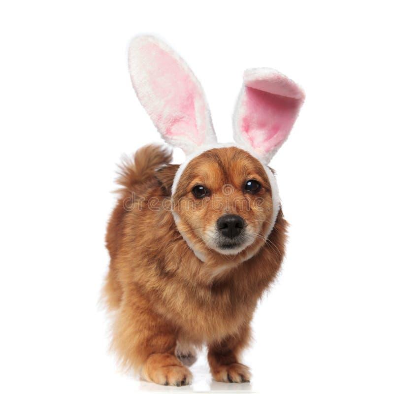 O cão marrom dos metis da Páscoa com orelhas do coelho olha para tomar partido imagem de stock royalty free