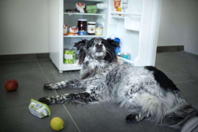 O cão misturado da raça rouba o alimento do refrigerador foto de stock