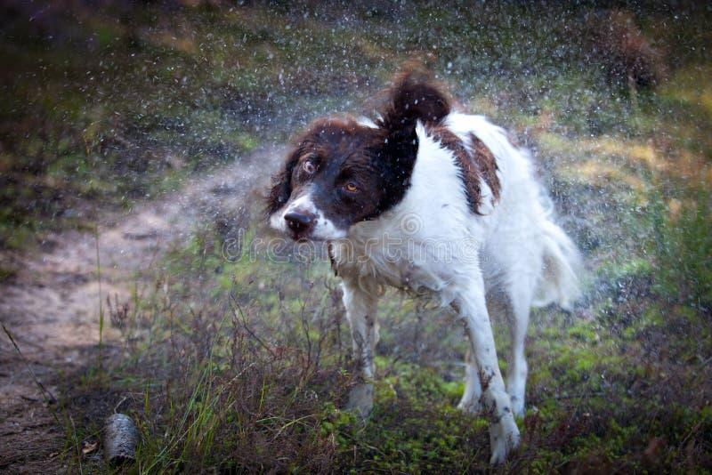 O cão molhado produz gotas de água agitando seu corpo foto de stock royalty free