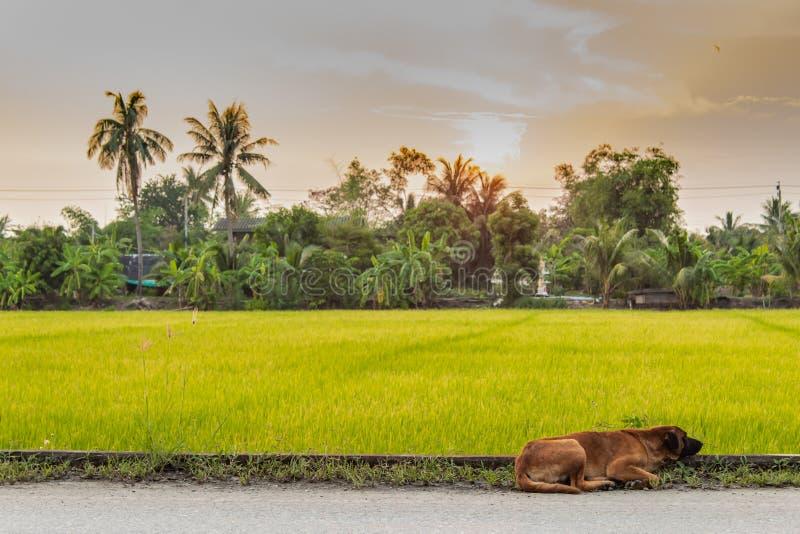 O cão na estrada e no por do sol do fundo atrás do campo de almofada fotos de stock