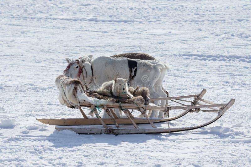 O cão no trenó e na rena no fundo da neve fotos de stock royalty free