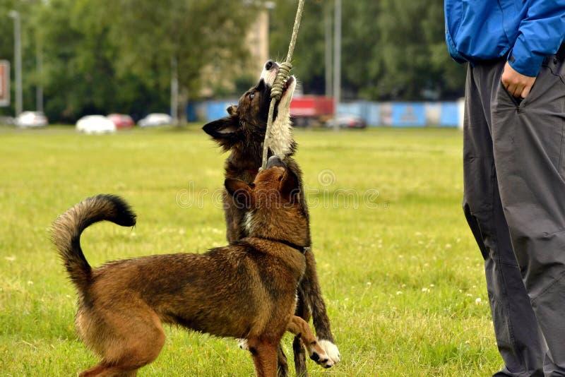 O cão novo escuta o proprietário e executa funções no comando Cão obediente e inteligente Treinamento fotografia de stock