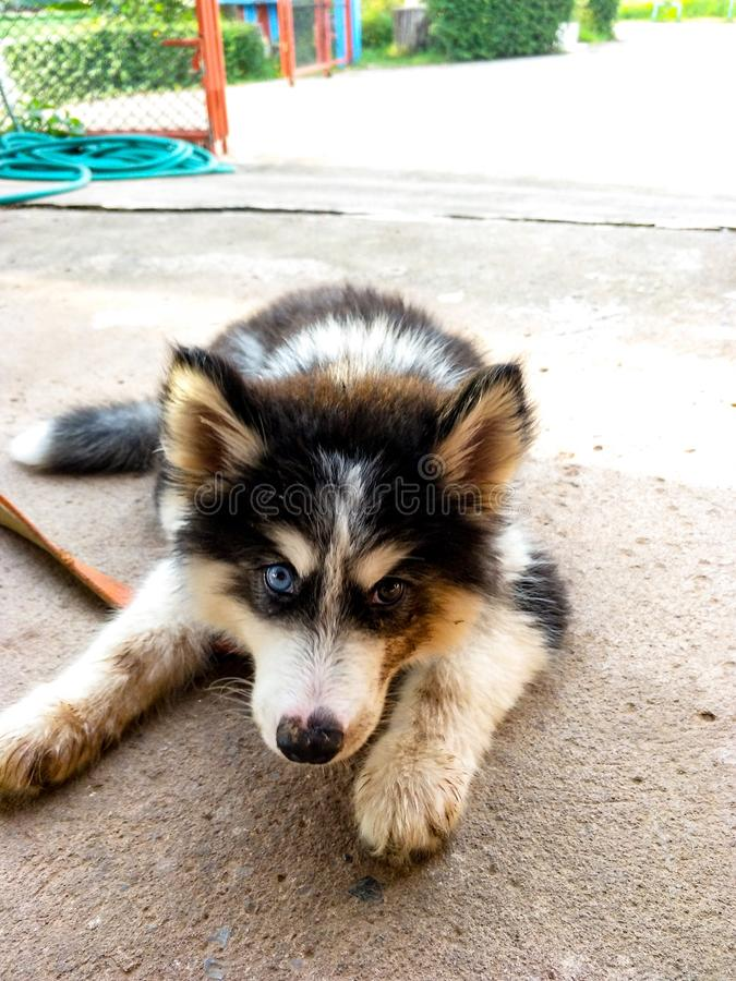 O cão novo preto-de cabelo tem 2 olhos, um azul, o outro preto fotografia de stock royalty free