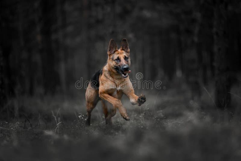 O cão-pastor alemão do puro-sangue corre em uma floresta escura fotografia de stock royalty free