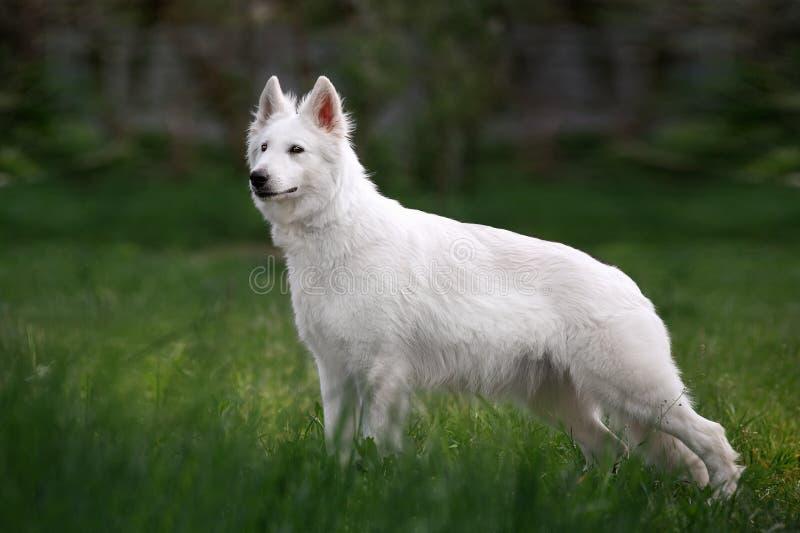 O cão-pastor suíço branco que está na parte dianteira exterior na grama alta no ponto morto borrou o fundo foto de stock