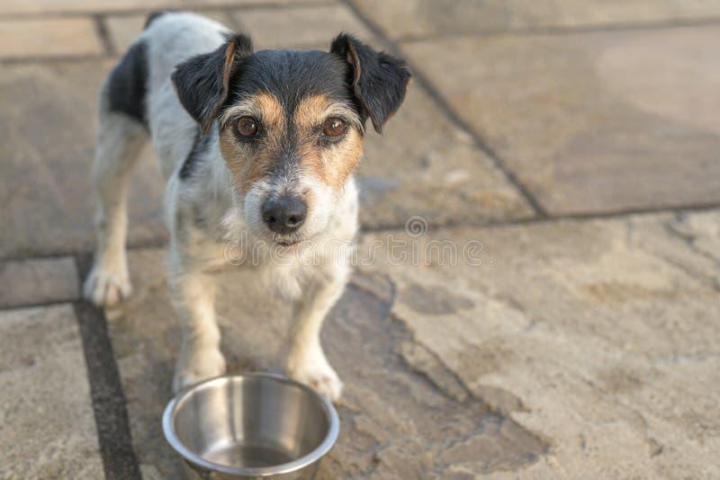 O cão pequeno bonito está estando na frente de uma bacia vazia e é sedento Jack Russell Terrier 10 anos velho fotografia de stock royalty free