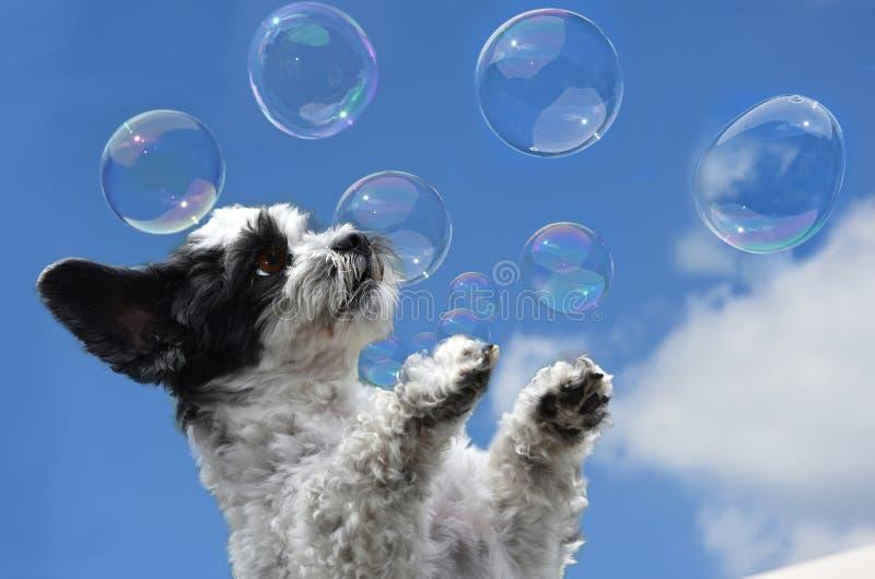 O cão pequeno bonito tenta travar bolhas de sabão imagem de stock