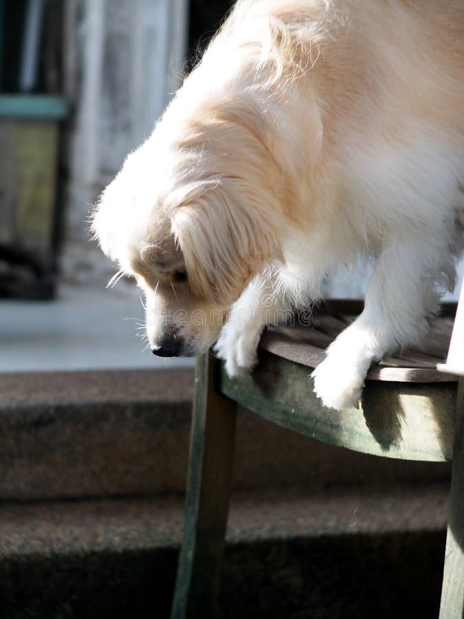 O cão pequeno da raça do golden retriever joga exterior imagens de stock