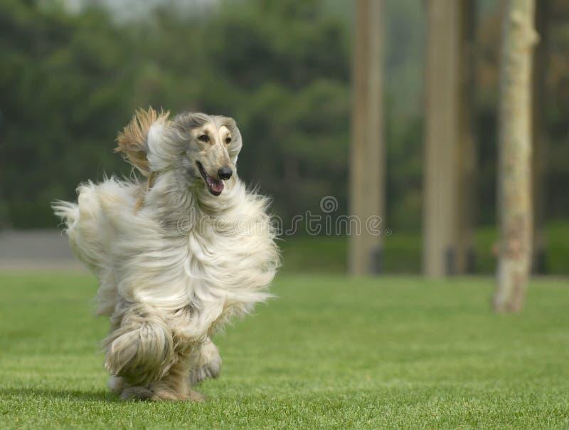 O cão pets o galgo afegão fotografia de stock