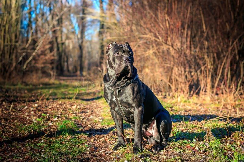 O cão preto bonito senta-se retrato Cane Corso outdoor fotos de stock royalty free